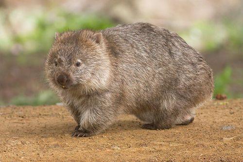 Wombats sind Beutelsäuger aus Süd- und Ostaustralien. Sie werden bis zu 120 Zentimeter lang und 40 Kilo schwer Die Wiener  Wombat's liegen in der Grangasse 6 (15.), Mariahilfer Straße  137 (15.) und Rechte Wienzeile 35 (4.). Eine Übernachtung       kostet rund 25 Euro