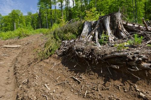Problem Abholzung: Riesige Waldflächen sind in Rumänien seit der Wende verschwunden, oft illegal (Foto: Matthias Schickhofer)